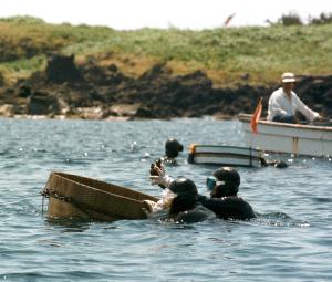 収穫に励む海女